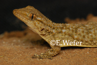 Crocodile/moorish Gecko