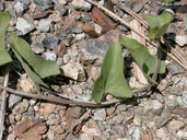 Calystegia occidentalis ssp. occidentalis