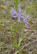 Camassia leichtlinii ssp. suksdorfii