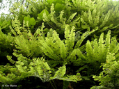 Aleutian Maidenhair Fern