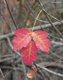 Toxicodendron diversilobum