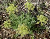 Lomatium dasycarpum ssp. dasycarpum