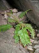 Polystichum imbricans ssp. curtum