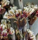 Eriogonum cernuum