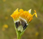 Lasthenia platycarpha