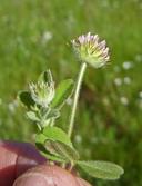 Trifolium microcephalum