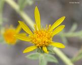 Heterotheca sessiliflora ssp. echioides