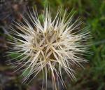 Microseris acuminata