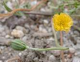 Microseris douglasii ssp. douglasii