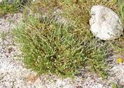 Plagiobothrys bracteatus