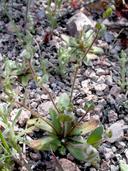 Plagiobothrys uncinatus