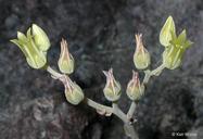 Dudleya cymosa ssp. paniculata