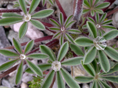 Lupinus microcarpus var. densiflorus