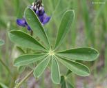 Lupinus succulentus
