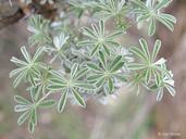 Lupinus albifrons var. albifrons
