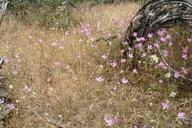 Clarkia biloba ssp. brandegeeae