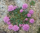 Calyptridium monospermum
