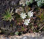 Lewisia glandulosa