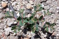 Chamaesyce serpyllifolia ssp. hirtula