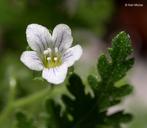 Eucrypta chrysanthemifolia var. chrysanthemifolia