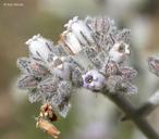 Eriodictyon tomentosum