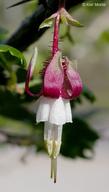 Ribes californicum var. californicum