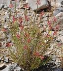 Oenothera suffrutescens