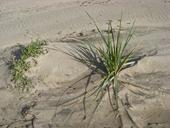 Elymus mollis ssp. mollis