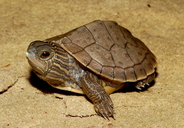 """recent hatchling<br /><strong>Location:</strong> Michigan, US<br /><strong>Author:</strong> <a href=""""http://calphotos.berkeley.edu/cgi/photographer_query?where-name_full=James+Harding&one=T"""">James Harding</a>"""