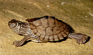 "Hatchling, referable to Graptemys pseudogeographica kohnii, the Mississippi Map Turtle<br /><strong>Location:</strong> Michigan, US<br /><strong>Author:</strong> <a href=""http://calphotos.berkeley.edu/cgi/photographer_query?where-name_full=James+Harding&one=T"">James Harding</a>"