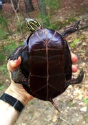 "Plastron of adult painted turtle— stained dark reddish-brown from iron-rich waters in its wetland habitat. Painted Turtles in this area of Michigan's Upper Peninsula are intergrades between Chrysemys picta marginata and C. p. belli.<br /><strong>Location:</strong> Schoolcraft County, Michigan (Michigan, US)<br /><strong>Author:</strong> <a href=""http://calphotos.berkeley.edu/cgi/photographer_query?where-name_full=James+Harding&one=T"">James Harding</a>"