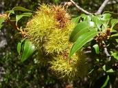 Chrysolepis chrysophylla var. minor
