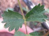 Drymocallis cuneifolia var. ewanii