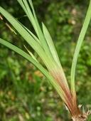 Juncus falcatus ssp. falcatus