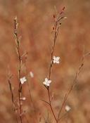 Gayophytum diffusum ssp. parviflorum