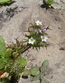 Navarretia hamata ssp. parviloba