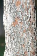 Cercis canadensis