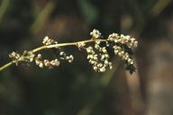 Polygonum phytolaccifolium