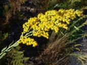 Solidago velutina ssp. californica