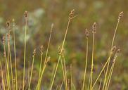 Carex diandra
