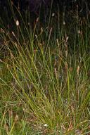 Carex integra