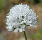 Gilia capitata ssp. mediomontana