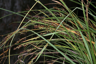 Carex californica