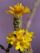Lessingia lemmonii var. lemmonii
