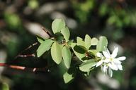 Amelanchier pallida