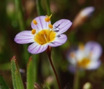 Linanthus filipes