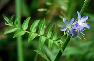 Polemonium occidentale ssp. occidentale