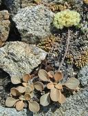 Eriogonum lobbii