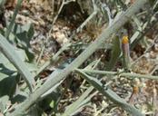 Hieracium greenei