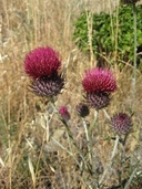 Cirsium occidentale var. lucianum